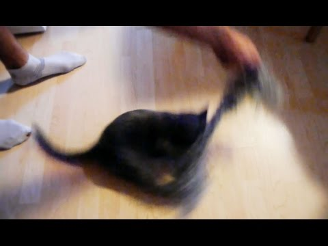 Humming top cat | funny cats | Ebony & Silver |