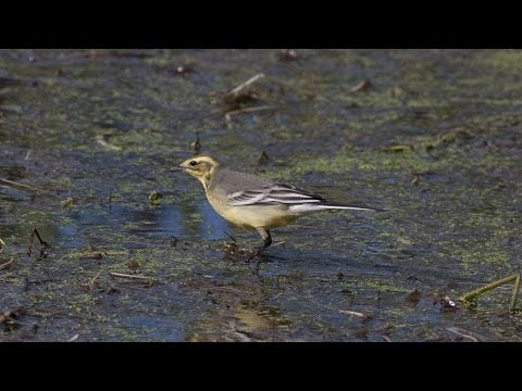 Citrine Wagtail, Lower Moors, St Mary's, Scilly, 280813