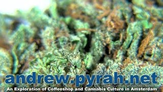 SWEET MOCHA - BETTY BOOP COFFEESHOP - AMSTERDAM CANNABIS CUP 2013 ENTRIES