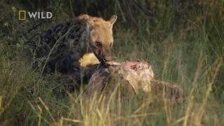 Hieny bezkarnie odebrały matce jej chore dziecko! [Królestwo drapieżników]