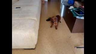 Лорд слушает лай собак