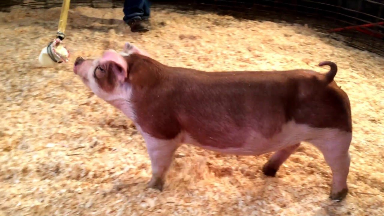 Pig for sale - 5 10