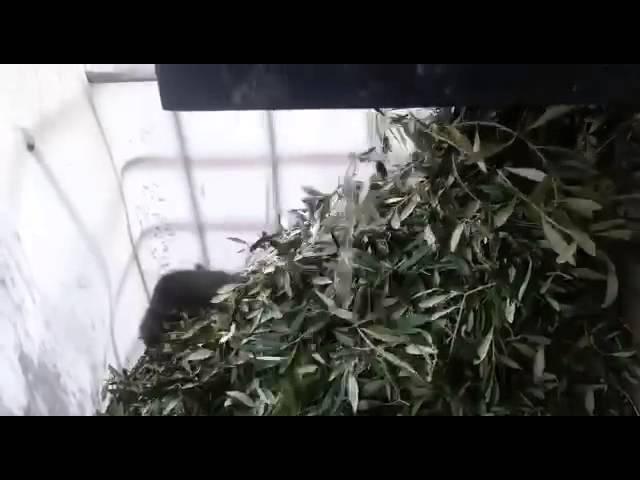 TORNADO 1 deramifogliatore olive