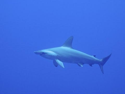 Diving with Hammerhead sharks & more @ Brothers & Daedalus - Red Sea 2014