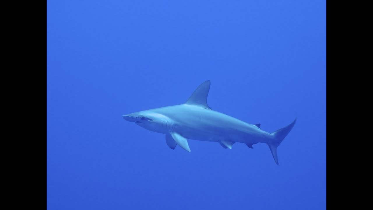 diving with hammerhead sharks u0026 more brothers u0026 daedalus red