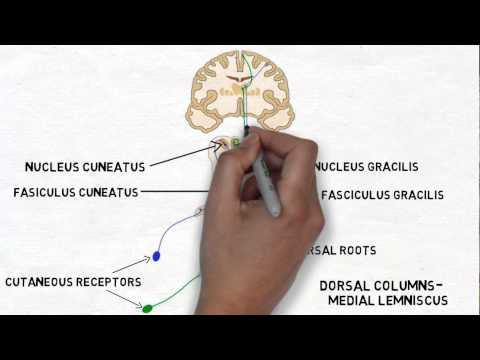 2-Minute Neuroscience: Touch and the Dorsal Columns-Medial Lemniscus