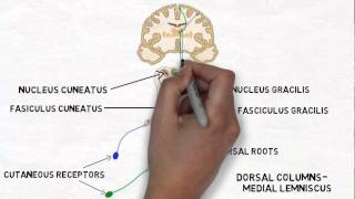 Gambar cover 2-Minute Neuroscience: Touch and the Dorsal Columns-Medial Lemniscus