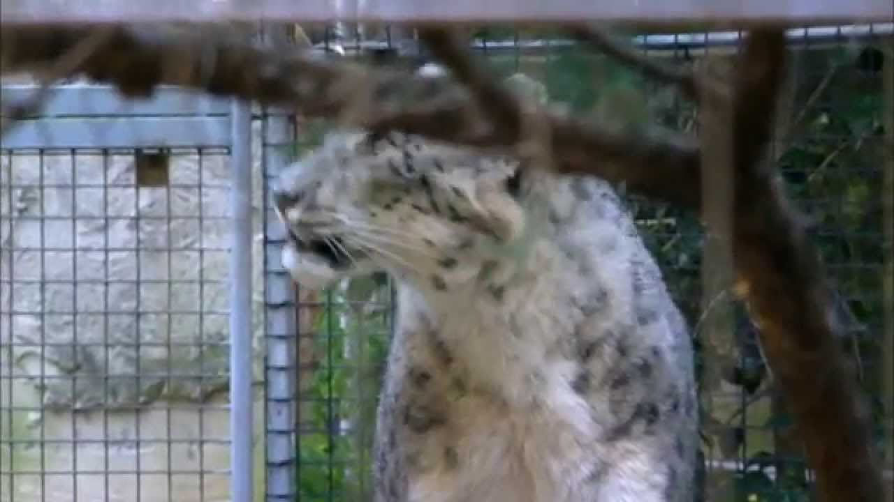 Download Wild Life at the Zoo Season 2 Episode 4 - Politicals of Meerkats and Two Snow Leopards
