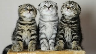 Chorus Line of Folds | Funny Cats  Cute Kittens