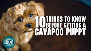 Cavapoo Puppies | Things You Should Know Before Getting a Cavapoo Puppy
