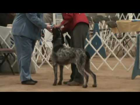 german wirehaired pointers, intermountain kennel club, May 8, 2016