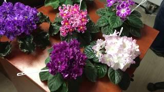 Сеянцы фиалок в работе из коллекции Фиалковода. 4 апреля 2019 года