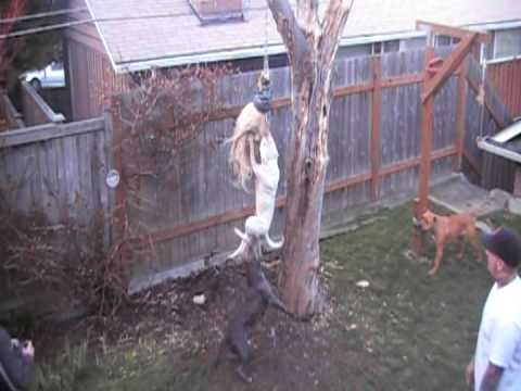 Amazing pit bull jump MUST SEE !!!!!!!!!!