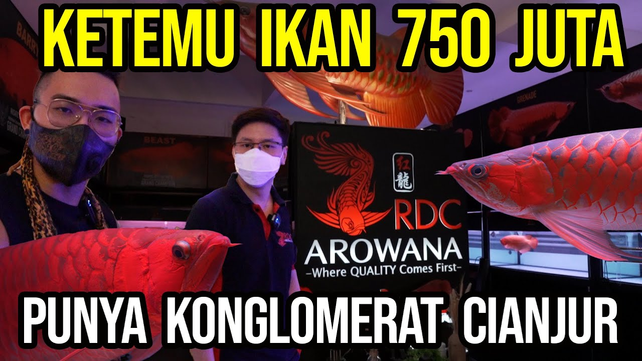 Download GREBEK KONGLOMERAT SULTAN PREDATOR CIANJUR!!! IKAN PREDATOR 750 JUTA!!! AUDREY KAGET SAMPAI LEMES !