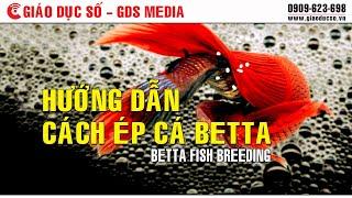 [Sinh học] Hướng dẫn cách ép cá Betta