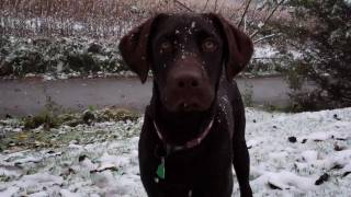 Chocolate Lab's First Snow