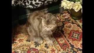Экзотическая кошка - Все О Породе