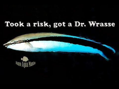 New Fish added, Dr. Wrasse (Labroides dimidiatus). Info & Care.
