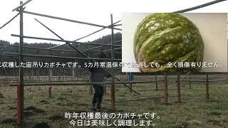 ヨシ爺は、素人百姓ながら思いついた事は何でもやっちゃいます。今年は、50本の宙吊りカボチャ栽培を遂行します。宙吊りとは、藪中の土手カボ...