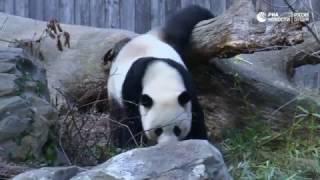 До свидания, панда!