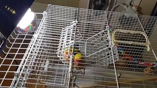 [퐁양퐁양TV] 앵무새에게 버드램프 란? Birdlam…