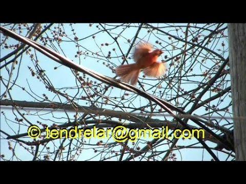 Le chant puissant du cardinal rouge (espèce protégée)