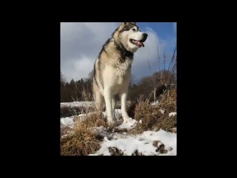 Beautiful photos of Alaskan Malamute