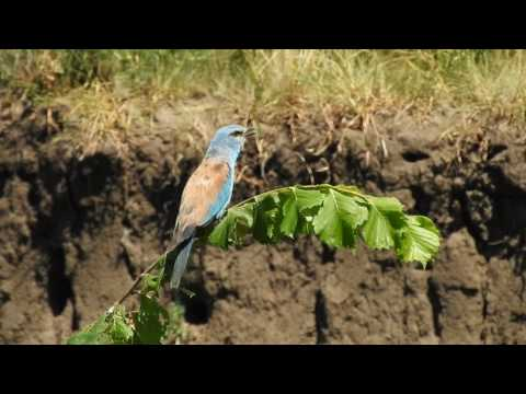 Сизоворонка • Сиворакша • European roller • Coracias garrulus (8-VII-2017)