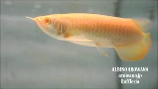 アルビノアジアアロワナ【ラフレシア】albino arowana