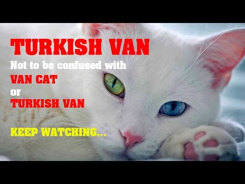 Turkish Van Cat - Not To Be Confused!