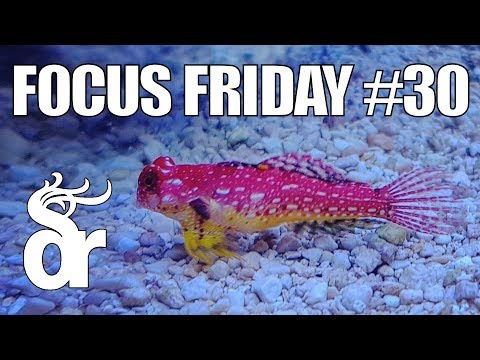 FF#30 | Keeping Dragonets (Mandarinfish) In Your Reef Tank