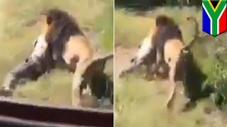 南アフリカのサファリパークで飼育されていたライオンがオーナーである7...