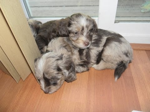6 week old Toy Aussiedoodle Puppies playing - Dreamydoodles.com