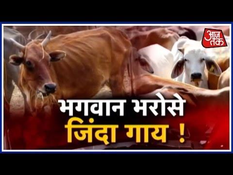 Hallabol: 500 Cows Dead At Jaipur Gaushala
