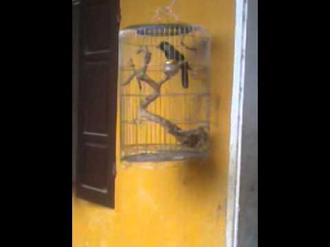 chim khiếu hót