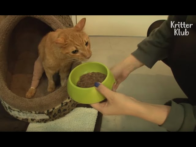 Anorexic Cat Gets Chubby With Love (Part 2) | Animal In Crisis EP38
