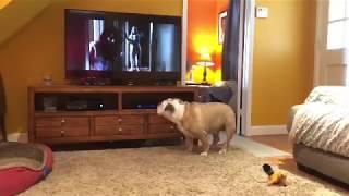 When My Bulldog Hears A Horror Movie...