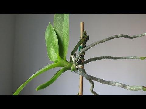 Размножение орхидей в пластиковой бутылке без цитокининовой пасты. РЕЗУЛЬТАТ
