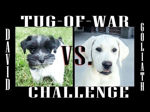 Toy Schnauzer Puppy vs. Labrador Retriever Puppy - Tug-Of-War Challenge
