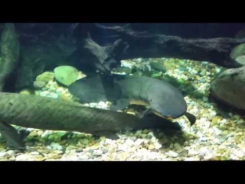 Australian lungfish and saratoga jardini