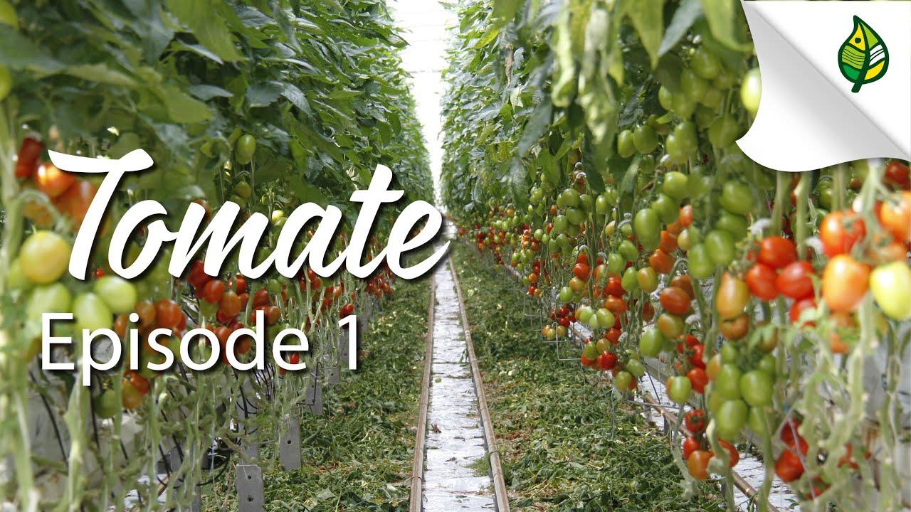 österreich Tomate
