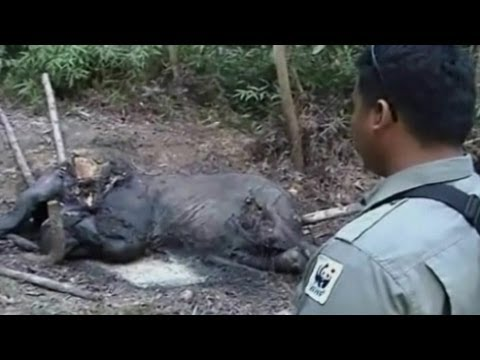 Two Endangered Elephants Found Dead in Indonesia