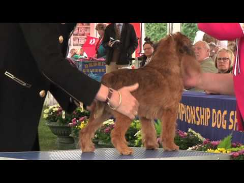 Richmond Dog Show 2016 - Toy group FULL