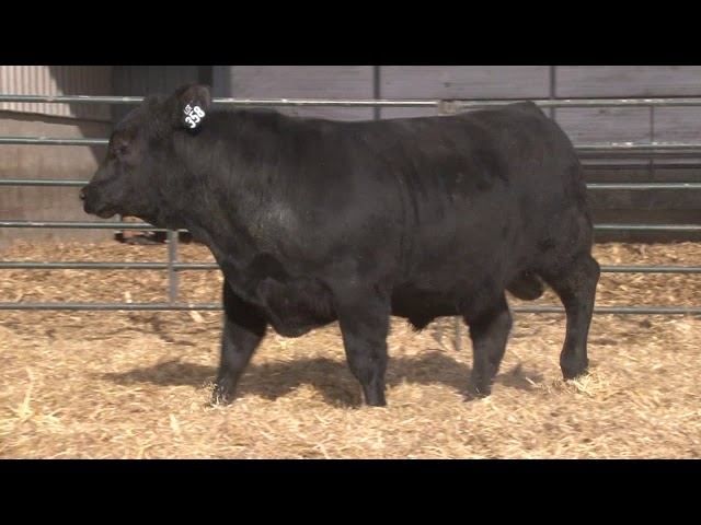 Schiefelbein Angus Farms Lot 358