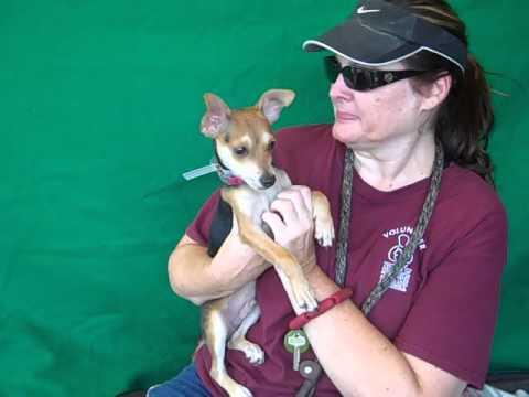 A4875565 Memphis | Miniature Fox Terrier Mix Puppy
