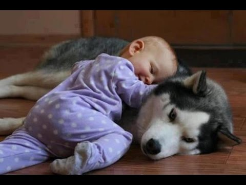 Funny Husky Dogs Love Babies Compilation 2015 || AHF
