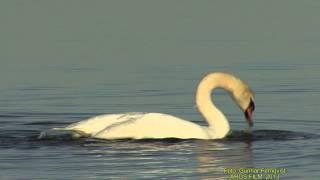 KNÖLSVAN  Mute Swan  (Cygnus olor)  Klipp - 1235
