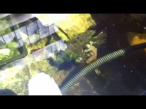 Turtles fish in outdoor turtle setup pond youtube for Fish pond setup