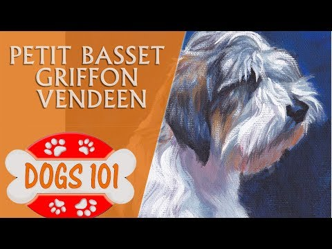 Dogs 101 - PETIT BASSET GRIFFON VENDEEN - Top Dog Facts About The Basset Griffon