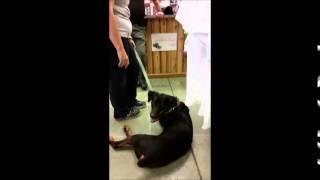 Rottie Nation Rottweiler Rescue Meet Butch